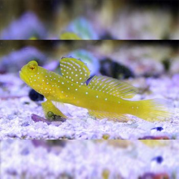 GOBY YELLOW WATCHMAN