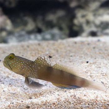 GOBY SPOTTED WATCHMAN BLUE