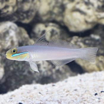 GOBY GOLD HEAD SLEPPER